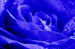 Close-up Beautiul Blue Rose With Water Drops Royalty Free Stock Image