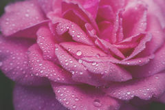 close-up beautiul red rose with water drops,, vintage Royalty Free Stock Photography
