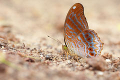 A close-up of Beauty butterfly resting on ground,Butterfly of Thailand Royalty Free Stock Photos