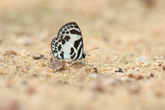 A close-up of Beauty butterfly resting on ground,Butterfly of Thailand Stock Photo