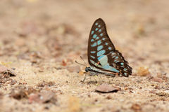 A close-up of Beauty butterfly resting on ground,Butterfly of Thailand Royalty Free Stock Photography