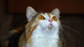 Close up of beauty cat snarling. Wild yellow eyes. stock video