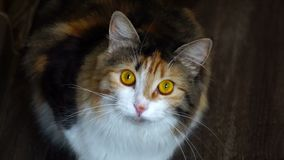 Close up of beauty cat snarling. Wild yellow eyes. stock video footage