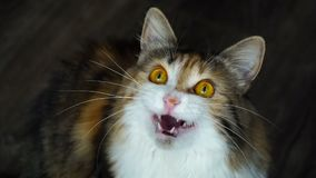 Close up of beauty cat snarling. Wild yellow eyes. stock footage