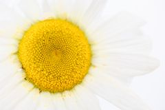 Close up of beauty a Daisy white flower with yellow pollen dirty on petal. Nature textture background or wallpaper.  stock image