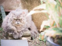 Close up beauty gray persian cat with long hair sit in garden wi. Th soft focus background Stock Images