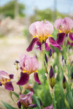 Close up of beauty Iris flower Royalty Free Stock Photography