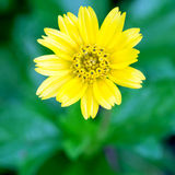 Close up beauty yellow flower Royalty Free Stock Images
