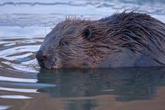 Close-up of beaver Royalty Free Stock Photos