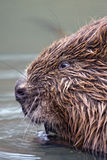 Close-up of beaver Royalty Free Stock Images