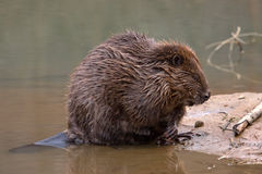 Close-up of beaver Stock Photo
