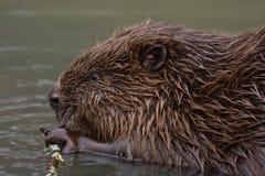 Close-up of beaver Stock Photos