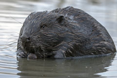 Close-up of beaver Royalty Free Stock Photography