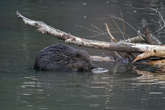 Close-up of beaver Stock Images