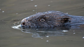 Close-up of beaver Stock Photography