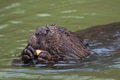Close-up of beaver Stock Image