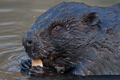 Close-up of beaver Royalty Free Stock Image