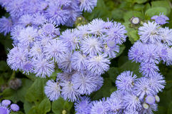 Close-up of a bed of Ageratum royalty free stock images