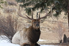 Close up bedded bull elk Stock Photography