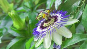 Close up of bee collecting nectar on exotic passion flower at green park. Beautiful flower passiflora. Close up of bee collecting nectar on exotic passion flower stock footage
