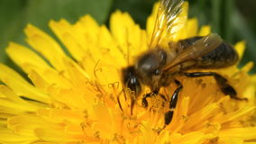 Close up bee on dandelion. Extreme close up of a bee on a yellow dandelion flower. Shallow depth of field. Close-up stock footage