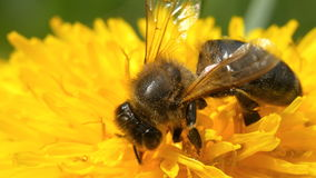Close up bee on dandelion. Extreme close up of a bee on a yellow dandelion flower. Shallow depth of field. Close-up stock video footage