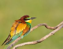 Close-up of bee-eater on tree branch Royalty Free Stock Image