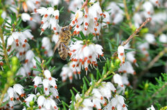 Close up of bee on Erica carnea.White winter. Close up of bee on Erica carnea. White winter /spring heath with small bell-shaped flowers. Blooming plant. Spring stock photo