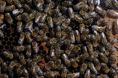 Close up of bee family Royalty Free Stock Photo