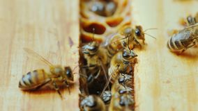 A close-up of a bee family at work, chaotic motion over wooden frames inside the hive stock video
