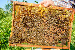 Close up bee farm in box Royalty Free Stock Photography