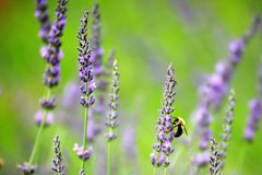 Bee on blooming lavender. Close up of bee feeding on blooming purple lavender in green field on sunny day stock image