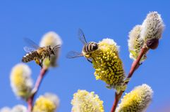 A close-up of a bee in flight collecting nectar on a catkin of a willow. A macro shot of a bee collects nectar on a catkin of a willow in spring royalty free stock photography