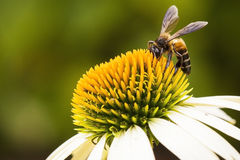 Close up bee Royalty Free Stock Images