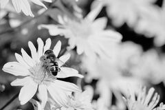 Close-up of Bee on Flower Stock Photos