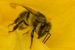 Close-up bee in flower collects nectar Royalty Free Stock Photo
