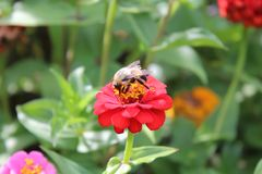 Bumblebee on red Zinnia flower. Close up of bee in flowerbed. Green leaves in background. Highland Park, Rochester, New York royalty free stock photos