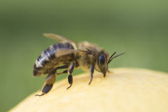Close-up on bee. On green background Royalty Free Stock Image
