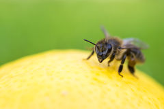 Close up of a bee inspecting a lemon isolated Royalty Free Stock Image