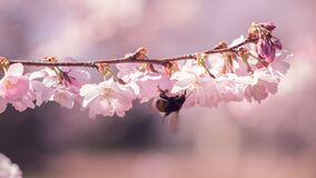 Free Close Up Bee On Cherry Blossoms In Spring. Royalty Free Stock Photo - 180231215