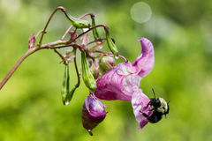 Close up of bee on pink flower. A busy bumble bee pollinates a dew soaked pink Himalayan impatiens flower in morning Stock Image