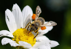 Close up bee with pollen. White daisy flowers.White daisies. Spring flowers stock photography