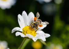 Close up bee with pollen. White daisy flowers.White daisies. Spring flowers royalty free stock images