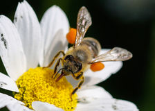 Close up bee with pollen. White daisy flowers.White daisies. Spring flowers stock images