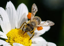 Close up bee with pollen. White daisy flowers. White daisies. Spring flowers royalty free stock image