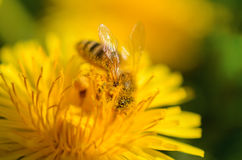 A close-up of a bee pollinates a yellow flower and is dusted with pollen. stock photo