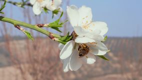 Close-up of bee pollinating almond white flower in orchard. Close-up of bee pollinating blossom almond white flower in blooming orchard. Springtime concept stock footage