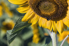 Closeup on Bee Pollinating a Sunflower Stock Photo