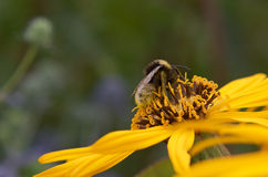 Close-Up of a bee pollinating a yellow flower. In summer royalty free stock image