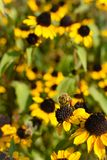 Close up of bee pollinating yellow flower. Yellow flowers and bees in background. Photo taken in gardens in Rothenburg ob der Taub royalty free stock photography